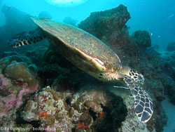 BD-070402-Similan-4020193-Eretmochelys-imbricata-(Linnaeus.-1766)-[Hawksbill-turtle.-Karettsköldpadda].jpg